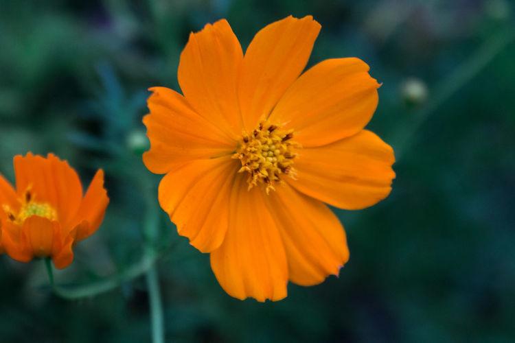 Close-up of orange cosmos flower