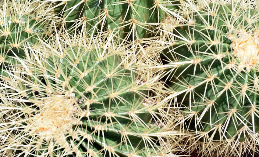 Beauty In Nature Cactus Close-up Day Full Frame Green Needles Outdoors Plant