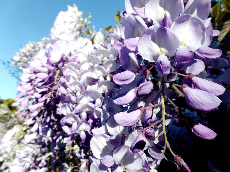 Fragrant: paikura © FRANCE French Riviera AMPt_community EyeEm Best Shots Eye4photography  Flower Collection Lavender