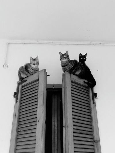 My Cats 🐱🐱🐱 #gatos #gatti#chats#cats #bianconero #blackandwhite #bnw #monochrome #TagsForLikes #instablackandwhite #monoart #insta_bw #bnw_society #bw_lover #bw_photooftheday #photooftheday #bw #instagood #bw_society #bw_crew #bwwednesday #insta_pick_bw #bwstyles_gf #irox_bw #igersbnw #bwstyleoftheday # #blackandwhite #blancoynegro  Animal Themes Pets Domestic Animals Domestic Cat One Animal Feline