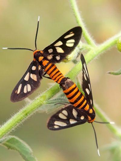 moth mating