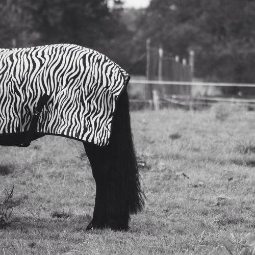 Pony with zebra print blanket on its back