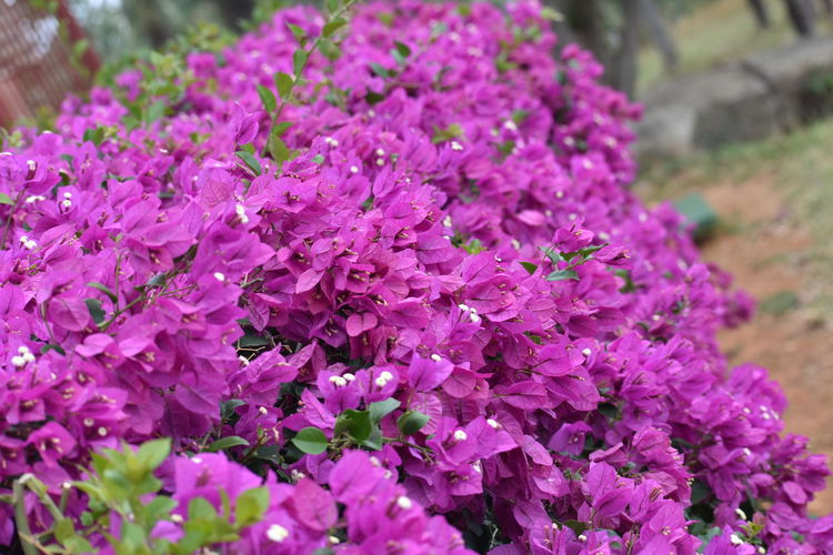 Flower Nature Beauty In Nature Purple Springtime Fragility Blossom