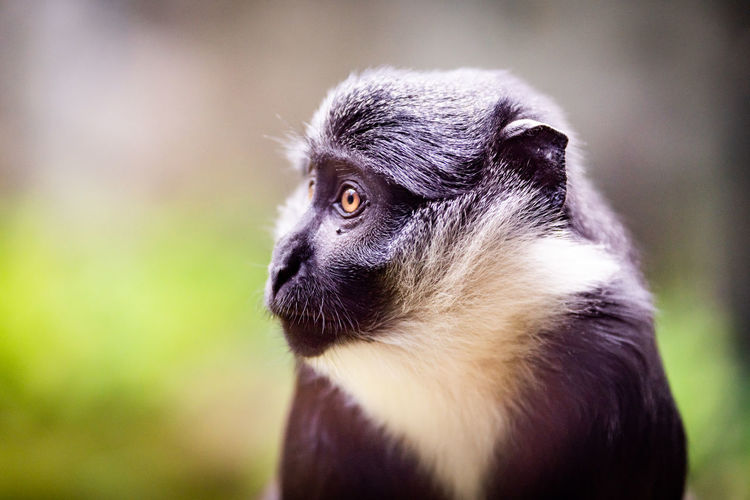 L'Hoest's monkey (Cercopithecus lhoesti) or mountain monkey. Endangered Species L'Hoest L'Hoest's Monkey Animal Eye Animal Wildlife Black And White Close-up Looking Looking Away Monkey Mountain Monkey Nature No People One Animal Orange Eyes Portrait Primate Vertebrate