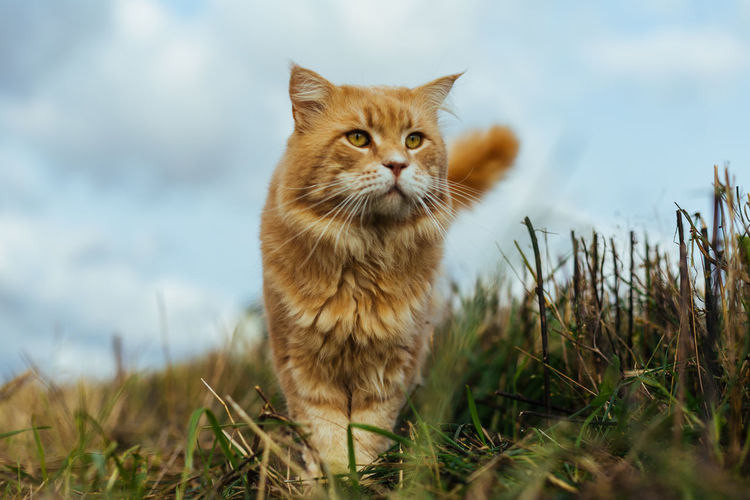 Cat in the Grass Animal Themes Close-up Day Domestic Animals Domestic Cat Feline Field Grass Looking At Camera Mammal Nature No People One Animal Outdoors Pets Portrait Sky