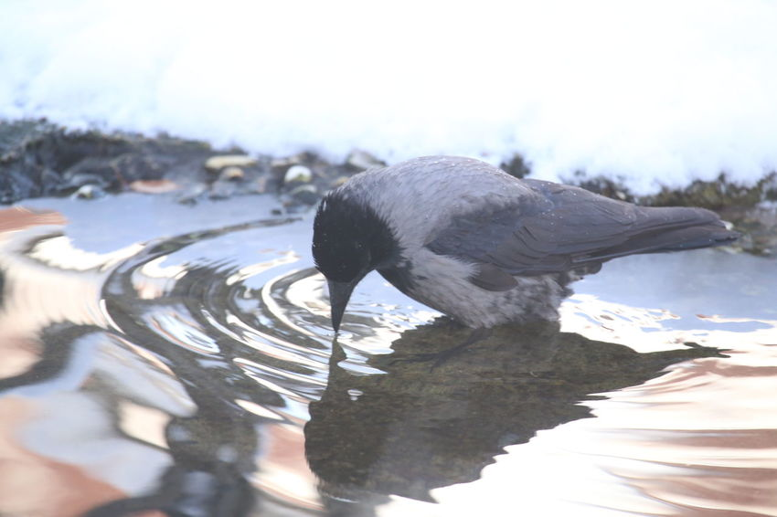 Animal Wildlife Bird Crow Drinking One Animal Outdoors Raven Snow Standing In Water Water Winter