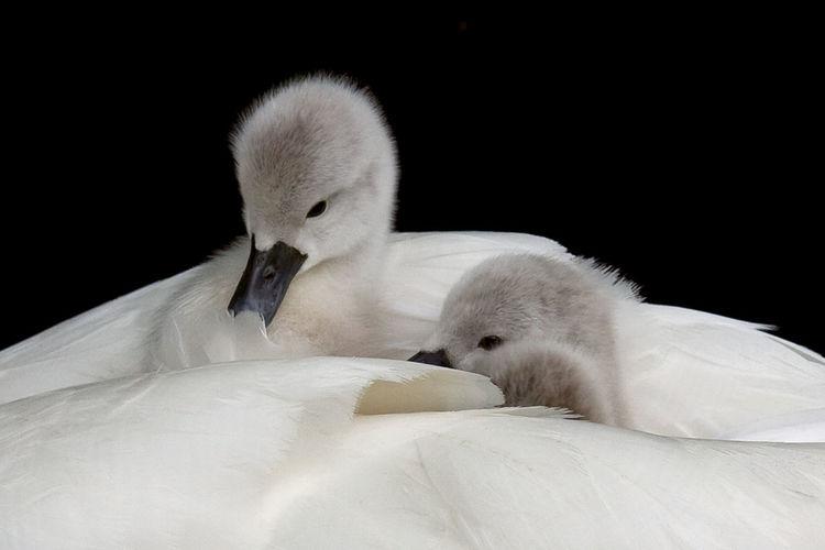 Baby Swan Swan Animal Animal Photography EyeEm Nature Lover Nature EyeEm Best Shots Favorite Picture Enjoying Life Swaanfotografie