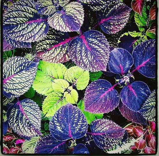 Coleus Color Greenery Natural Beauty Cameraphone Natures Diversities