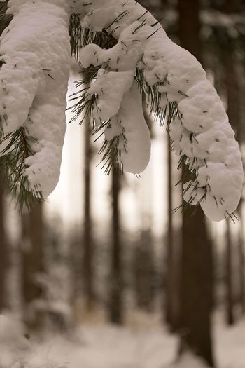 Snow Eyem Awards 2018 EyeEm Selects White Vacation Destination Outdoor Photography Monochrom Nature Holidays Trees Of Eyeem Selektive Focus Plants Snow On The Trees Coniferous Tree Plants In The Wild EyeEm Selects Focus On Foreground Plant Close-up Tree No People Nature Day Beauty In Nature Selective Focus Snow Cold Temperature Winter Growth Hanging Outdoors