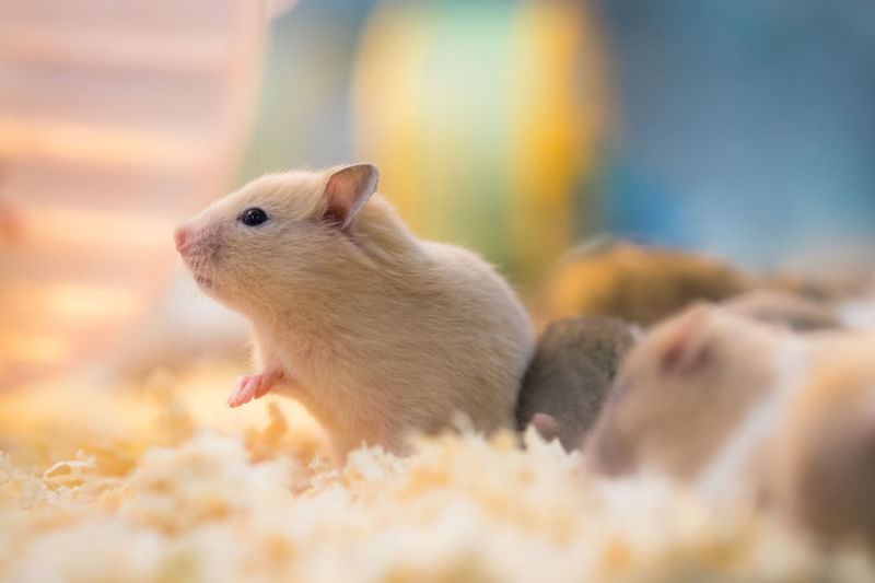 rat Animal Themes Close-up Cute Day Nature Outdoors Rats Warm Colors Warm Light
