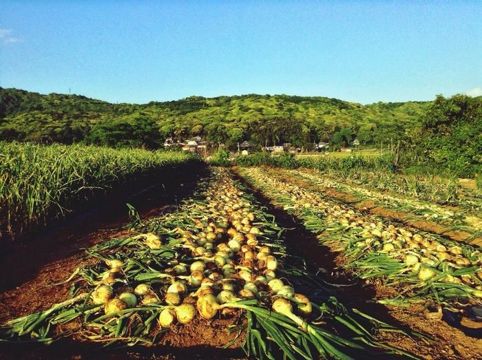 Harvest Day : Agriculture Note. Onion Made in Nagasaki prefecture Field Work 長崎県産 タマネギ収穫 犬馬難 鬼魅易