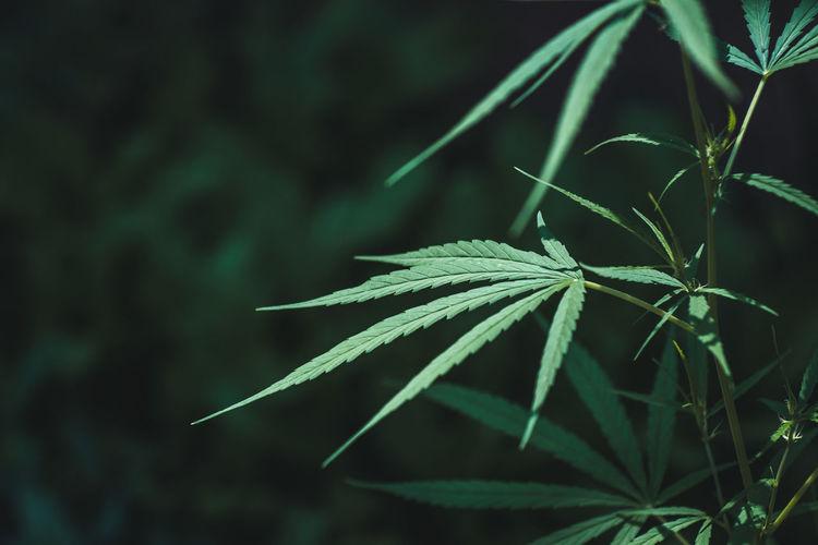 Close -up cannabis sapling background.