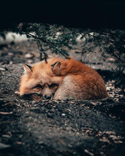 Fox Mammal