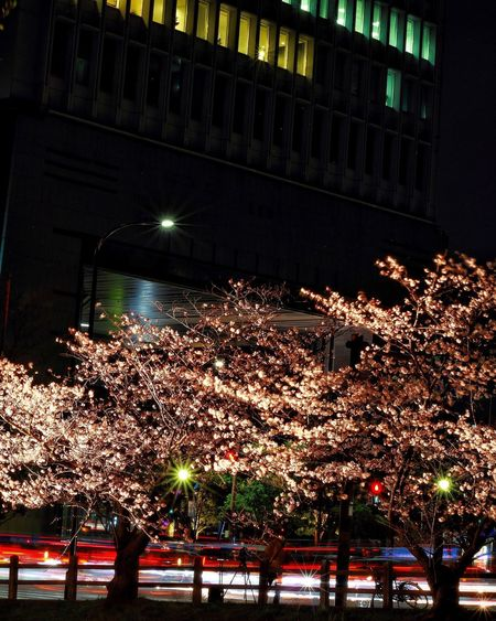 Night Sakura