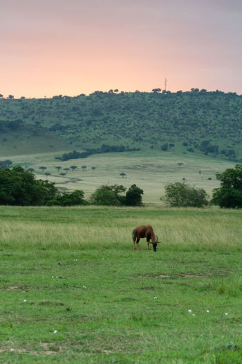 Antelope grazing in a field during sunset in kenya