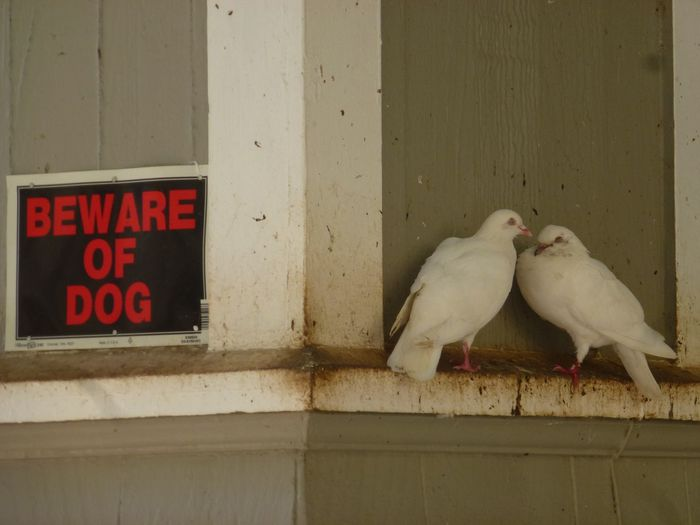 """Beware of Dog"" Birds Dog Dogs Fear Honolulu, Hawaii Love Notice Pigeons White Birds Hawaii House Humour Safetylove conquers all Conspire"