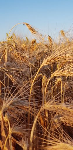 Eyemselects Wheat Cerial Crop  Growing Farming Colourful Gold Golden Farming Firlds Food Raw Materials Nature Crops Harvest Wheat Cereal Plant Rural Scene Clear Sky Agriculture Summer Rye - Grain Crop  Sky Close-up
