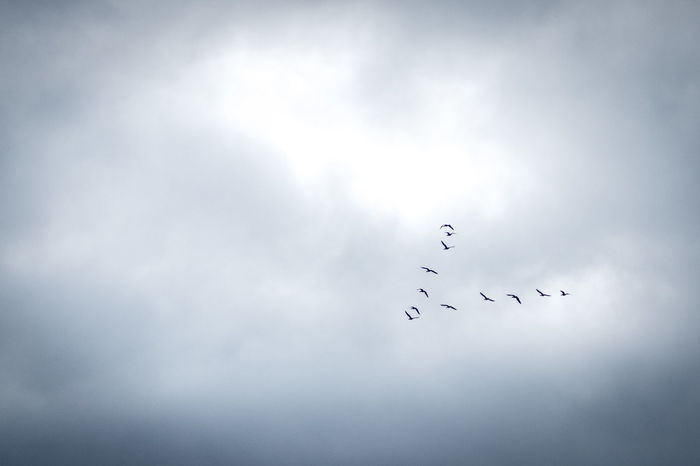 Flown Copy Space EyeEm Best Shots EyeEm Nature Lover Nature Animal Themes Animal Wildlife Animals In The Wild Beauty In Nature Bird Cloud - Sky Day Flock Of Birds Flying Large Group Of Animals Low Angle View Mid-air Migrating Nature No People Outdoors Sky Teamwork Togetherness