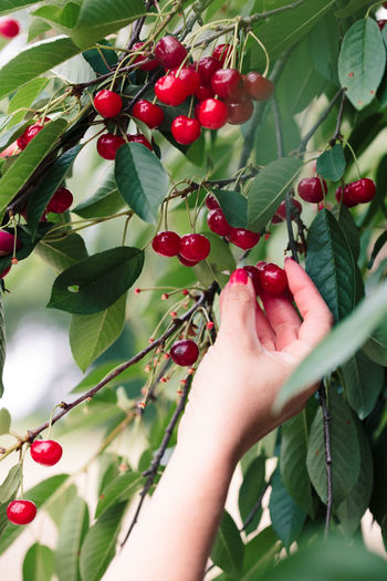 Woman picking cherry berries from tree. Woman is working in the garden, she is picking ripe cherries Cherry Berry Pick Picking Harvest Harvesting Crop  Fruit Food Organic Farm Garden Fresh Healthy Lifestyles Nature Tree Leaves Real People Summer Summertime Hand Woman Female