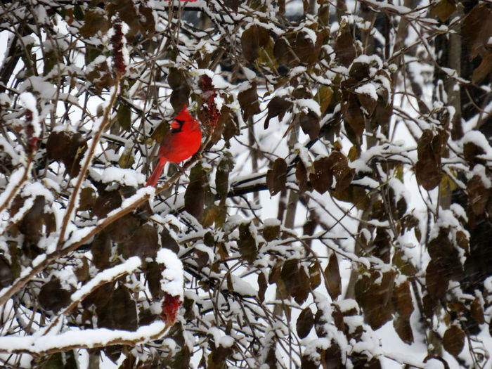 Bright red cardinal perched on a branch covered of snow in winter Snow Winter Cold Temperature Bird Tree Vertebrate Branch Animal Themes Animal Animals In The Wild Animal Wildlife Day One Animal Plant Cardinal - Bird Perching Nature Red No People Outdoors Perched Season  White Winter Red Bird In Tree