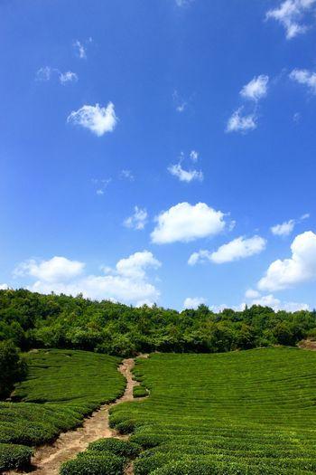 Tea Garden Tea Countryside Chinese Village Nature Tea Tree Teatree