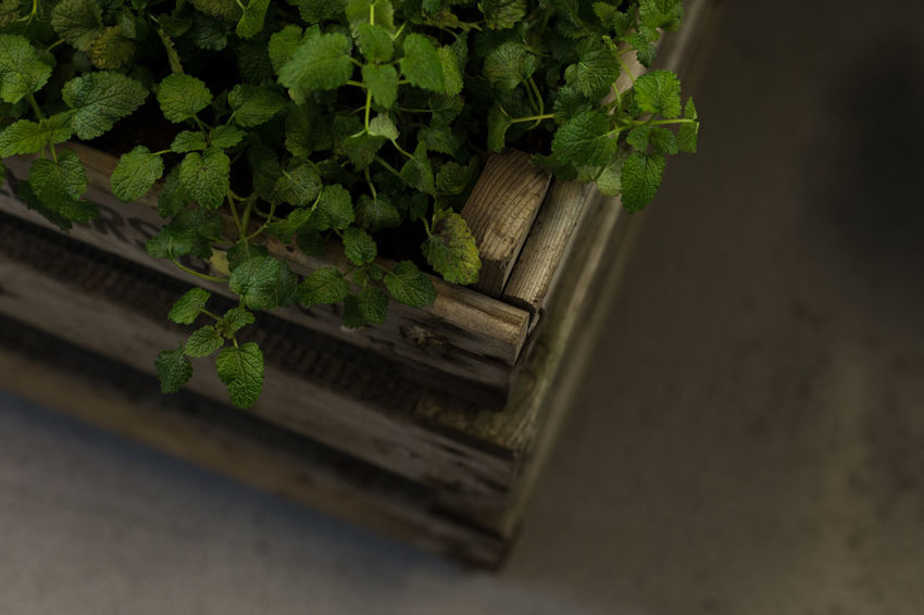 mint Cooking Gardening Basket Box Close-up Container Day Freshness Green Color Growth Healthy Eating Herb High Angle View Leaf Leaves Mint Nature No People Outdoors Plant Plant Part Potted Plant Selective Focus Wood - Material