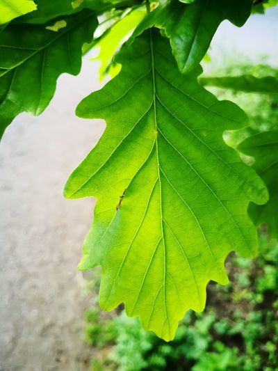 Oak leaf isolated Oak Leaf Oak Leaves Green Leaf Green Leaves Leaf Close-up Green Color Plant Leaf Vein Lush - Description Photosynthesis Natural Pattern Leaves Plant Life Lush Foliage Delicate Tissue Streaming Relaxed Moments Stamen Focus In Bloom Change Greenery Blossom