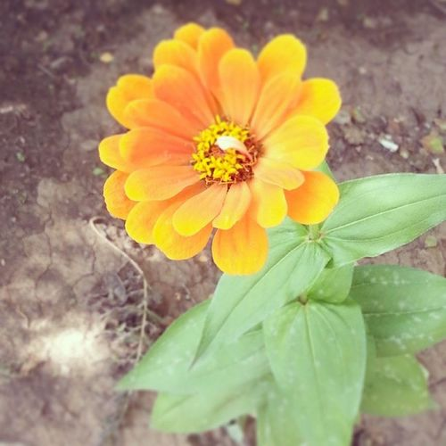 Природа осень растение цветы цинни цвет оранжевый зеленый Nature Autumn Plants Flowers Colours Orange Green