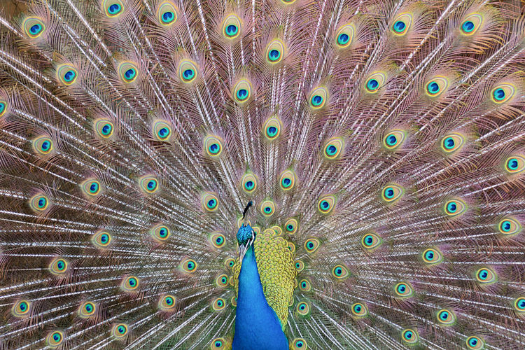 Extreme close-up of peacock