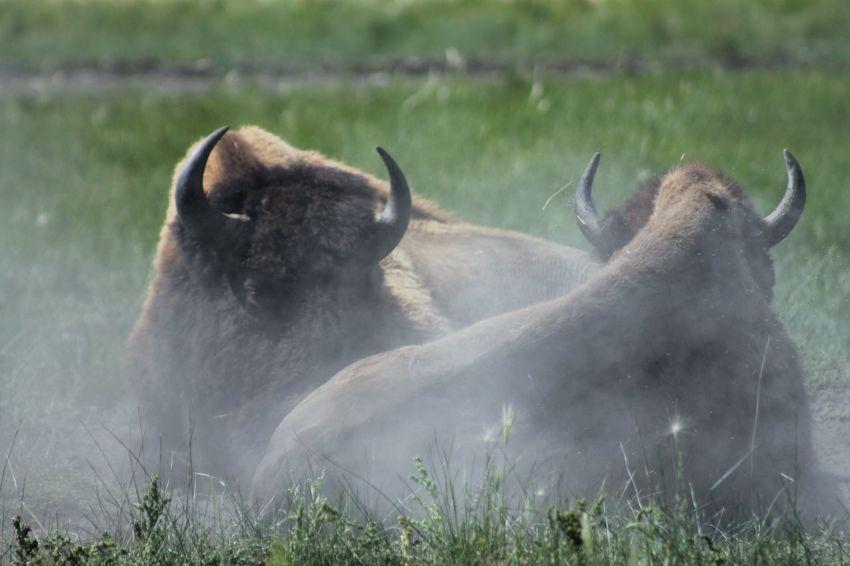 Bison Bison Herd Animal Wildlife Animals In The Wild Day Field Grass Outdoors
