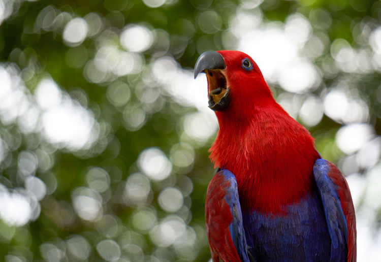 Animal Bird Birdwatching Bokeh Fowl Wildlife Cacatuoidea Cacatuidae Chirping Birdsong