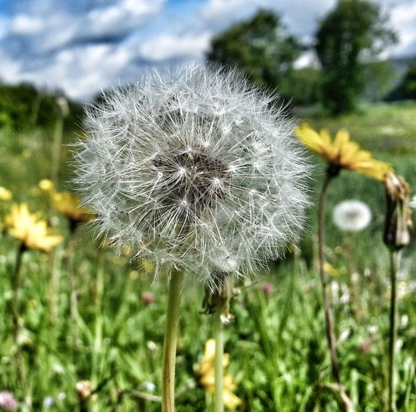 Dandelion Streamzoo Nature Yellow Flower