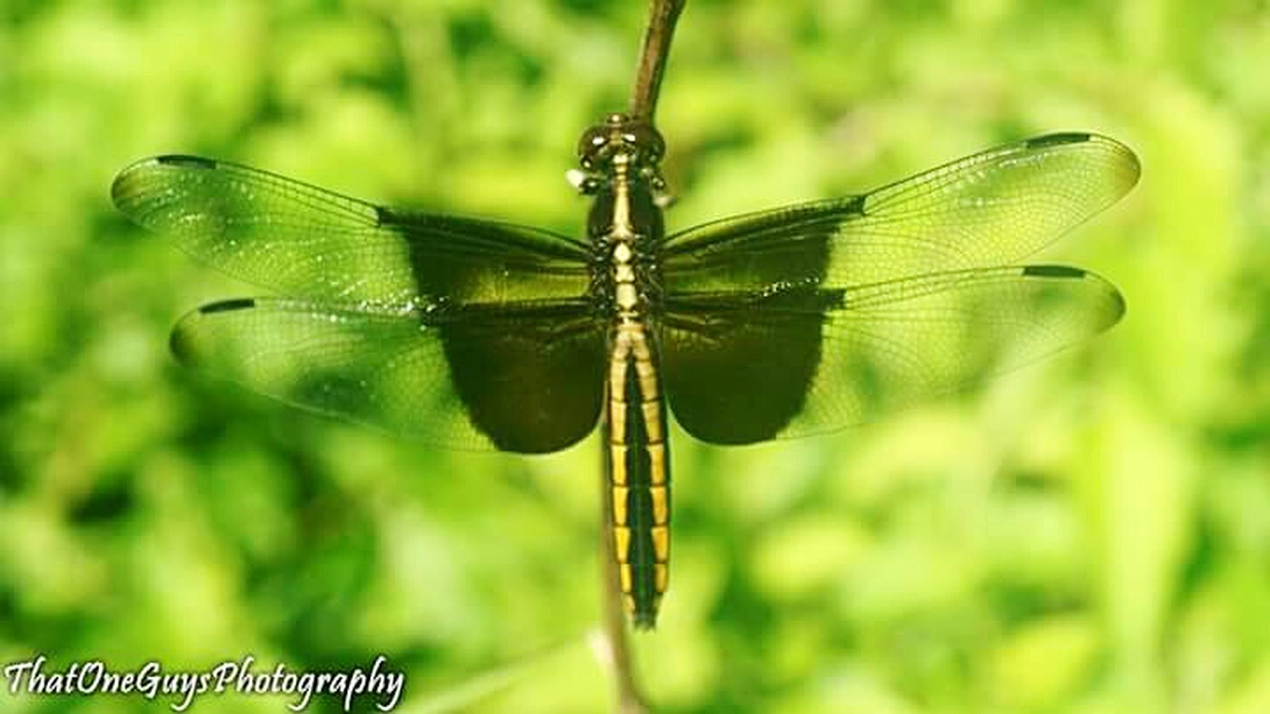 one animal, animal themes, insect, animals in the wild, wildlife, dragonfly, focus on foreground, animal wing, close-up, nature, butterfly - insect, butterfly, plant, animal markings, day, outdoors, perching, zoology, no people, green color