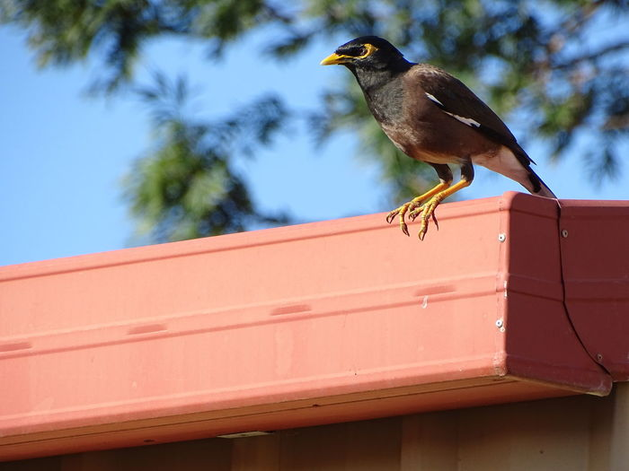 Mynah Bird Rooftop Colourful Vibrant Colours Beak Feathers Of A Bird Architecture Architectural Feature EyeEm Selects Tropical Australian Small Colorful Nature Bird Perching Bird Shed Roof Black Looking At Camera Eyes Yellow Color Minor Bird Looking Feathers Perching Roof Sky Animal Themes Starling Songbird  Tropical Bird