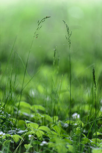 wild grass on June meadows, Middle of Russia Field Grass Green Green Color Russia Russian Nature Bokeh Color June Meadow Summer Vibrant Wild Grass
