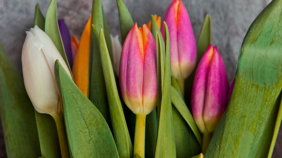 Tulip Freshness Close-up Flower Plant Flowering Plant Green Color Beauty In Nature Petal No People Nature Vulnerability  Fragility Pink Color Inflorescence Multi Colored Leaf Plant Part Flower Head Purple Springtime Tulpen Nature_collection Hintergrundgestaltung Hintergrund EyeEm Gallery The Minimalist - 2019 EyeEm Awards