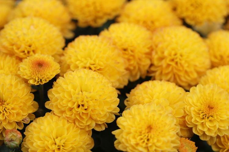 Full frame shot of yellow marigold