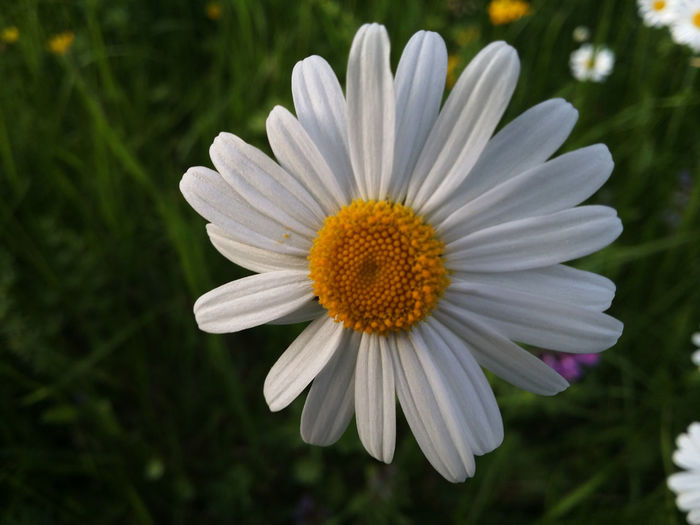 Close-up of white daisy