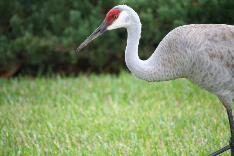 Bird Bird Photography Birdwatching Crane Cranes Day Florida Sandhill Crane Florida Winter Grass Outdoor Photography Sandhill Crane Sandhill Cranes Solivita