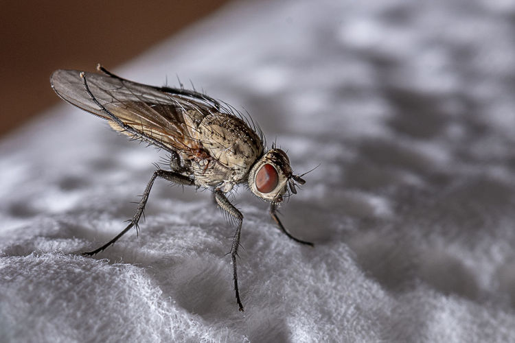 macro from one fly on a napkin Invertebrate Insect Animal Themes Animal Animals In The Wild Animal Wildlife One Animal Close-up Animal Wing Fly Housefly Day Selective Focus No People Animal Body Part Focus On Foreground Zoology Macro Animal Eye Napkin Macro Photography Fibers Texture Faceted Eyes Hair Soft Sensor Lightness Disgust Disgusting  Body Part Wing