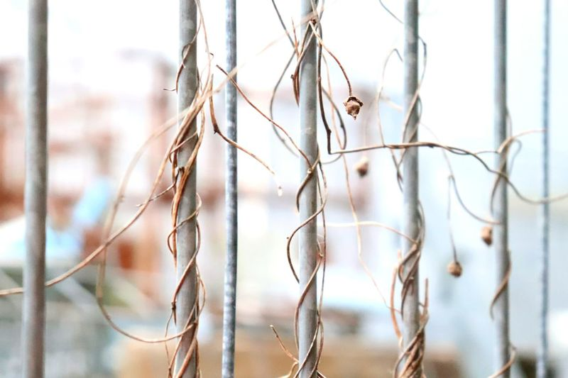 Close-up of dried plants on railing