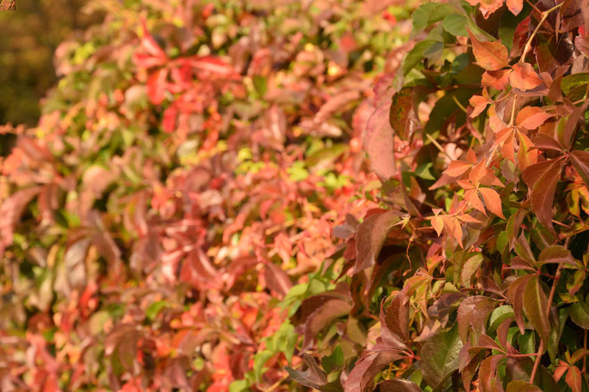 Colorful ivy Plant Beauty In Nature Plant Part Leaf Growth Close-up Day No People Full Frame Nature Freshness Backgrounds Outdoors Autumn Selective Focus Pink Color Fragility Vulnerability  Change Leaves Parthenocissus Parthenocissus Quinquefolia Ivy Ivy Leaves Ivy Covered