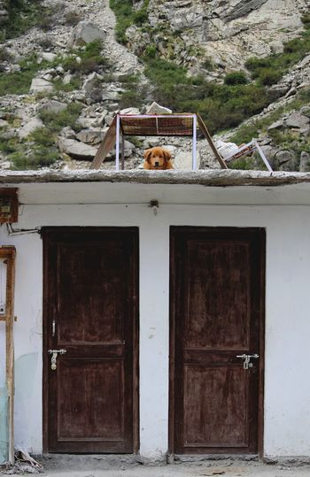 Our furry vigilantès. A mountain Doggo being trained to guard. Dogs Of EyeEm Dog Love Guard Dog Vigilante Furry Friends Mountain Life Himalayas India Modern Workplace Culture Golf Club Architecture Building Exterior Built Structure Entryway Entrance Latch