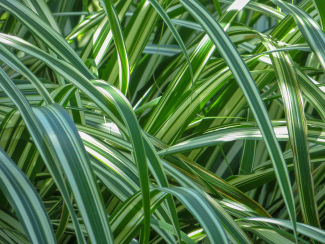 Loopy ribbon grass Green Horizontal Nature Plant Sunlight Variegated Carex Evergreen Grasses No People Ornamental Grass Pattern Reeds Sedge Striped