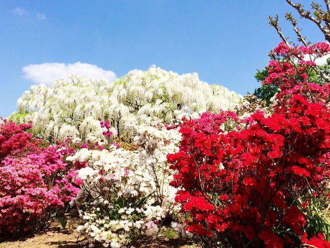 Wisteria Azalea Ashikaga Flower Park Travel Destination 9 Places Of The World Of Dream White Japan EyeEm Flower Flower Flowers 2015.4.30. あしかがフラワーパーク✨白藤とツツジ😊