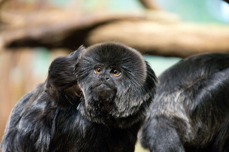 Springtamarine im portrait - portrait of a monkey