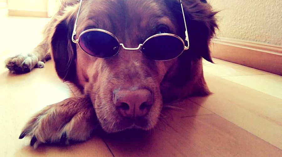 Dog Pets Domestic Animals Sunglasses Pet Clothing Cute Bitchplease Fabulous Teloe First Eyeem Photo