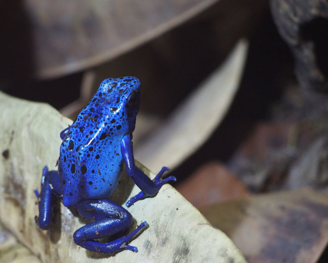 Close-up Dangerous Nature Nature In Captivity Poison Arrow Frog Poisonous Small But Deadly Vibrant Color