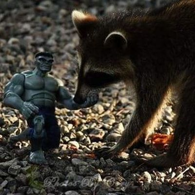 """Big kitty tickles Hulks hand. Hulk likes big kitty"" Hulk Raccoon Photooftheday Instadaily Instanature Natureshots Natureseeker Natureonly Natures_hub Natures_cuties Animallover Animal_captures Wildlife_perfection Luckywiththeanimals"