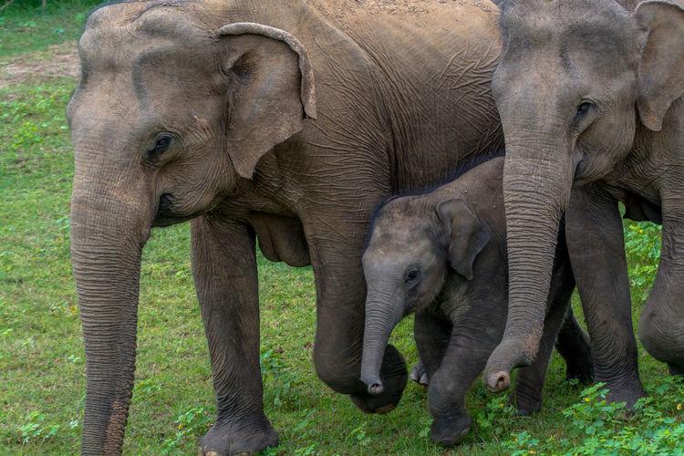 Elephants walking on grassy field at yala national park